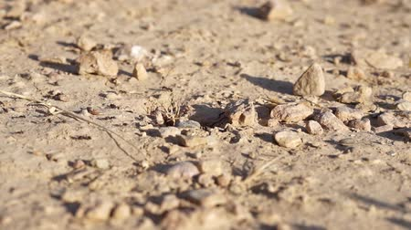 queen ant : Ant colony going in and out of their anthill, detail Stock Footage