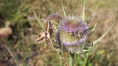 silybum : hawk moth extracting nectar from a thistle in springtime