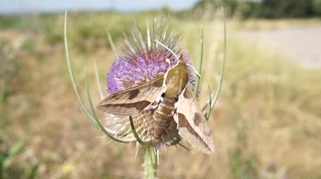silybum : hawk moth flying and extracting nectar from a thistle in springtime