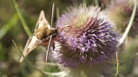 silybum : hawk moth extracting nectar from a thistle in springtime at the end it flies away