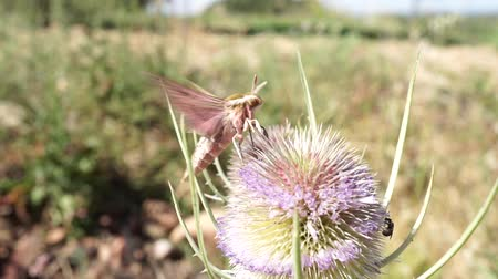 silybum : hawk moth flying and extracting nectar from a thistle in springtime at the end it flies away Stock Footage