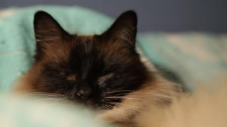 acorde : Cute longhaired Thai cat sleeping and waking up close-up. Siamese breed sleepy cat lying in bed portrait