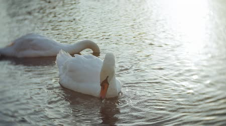 swans swimming : White swans on the water Stock Footage