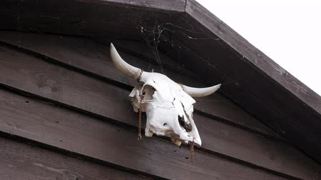 horned : Cow skull hanging on wooden barn door Stock Footage