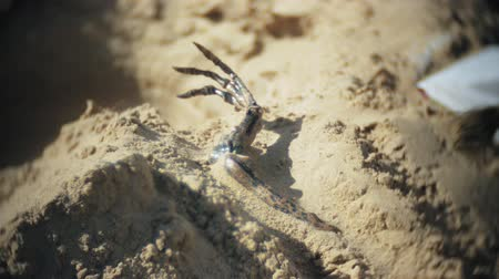 dino : The woman is engaged in excavating bones in the sand, Skeleton and archaeological tools. Stock Footage