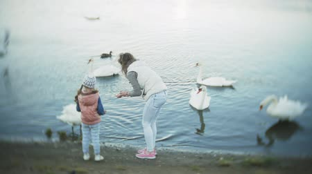 давать : A young woman feeding on a lake swans and ducks Bird feeding in winter Стоковые видеозаписи