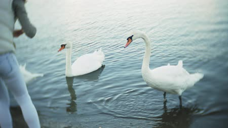 snow caps : A young woman feeding on a lake swans and ducks Bird feeding in winter Stock Footage