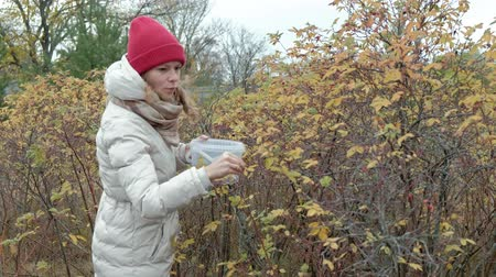 vörösáfonya : Young woman picking berries from a bush in the forest in autumn in cold weather