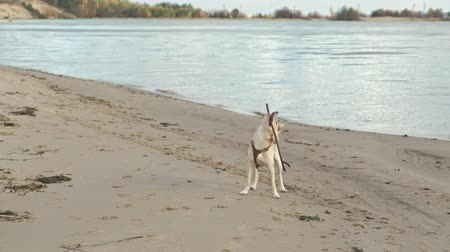 taranmamış : Wet dog running with a stick on the beach