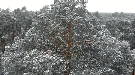 havasi levegő : winter pine snowy forest, aerial view with drone Stock mozgókép