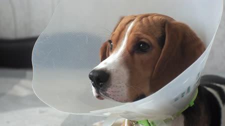 veterinário : beagle dog in a protective collar, sick