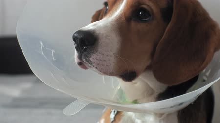 bandage : beagle dog in a protective collar, sick