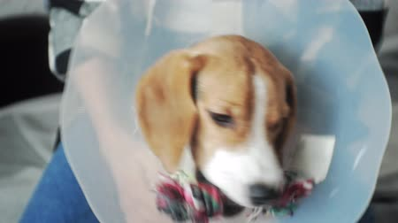 boyun : beagle dog in a protective collar, sick