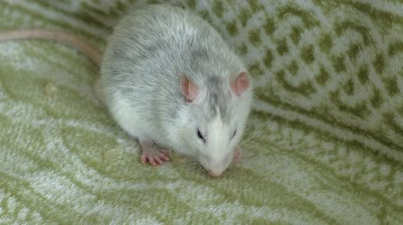belly : gray rat eating on the couch food, pets