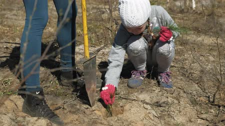 palánták : Planting tree saplings. Forest restoration, protection of ecology.