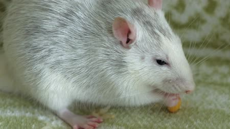 yaratık : gray rat eating on the couch food, pets