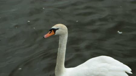 шлейф : White swans on the water. Стоковые видеозаписи