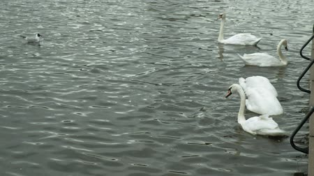 zwarte zwaan : White swans on the water. Stockvideo