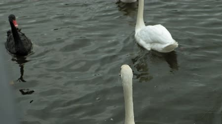 penacho : White swans on the water. Archivo de Video