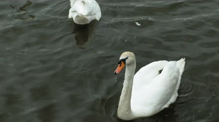 cisne : White swans on the water. Vídeos