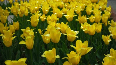 tulipan : Yellow tulips. Flowers spring nature.