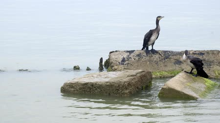 Cormorants on stones in the sea Vídeos