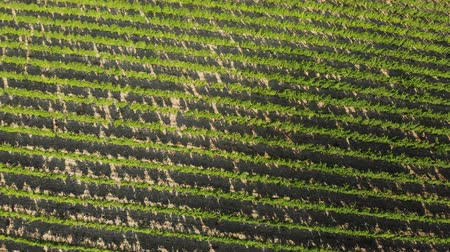 pereira : Flying over the green plantations of fruit trees. Aerial shot