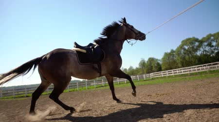 desert life : training of the horse running in a small circle