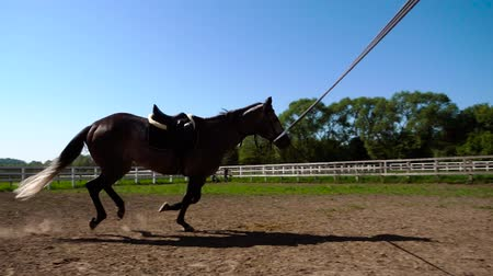 arabian horses : training of the horse running in a small circle
