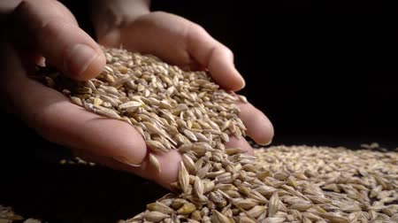avuç : hands holding wheat grains on a black background