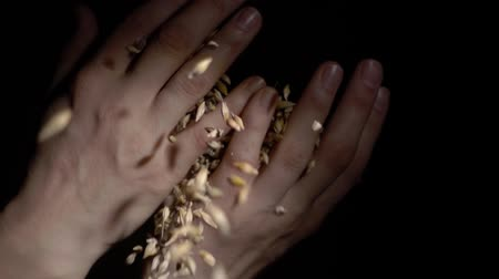 otruby : hands holding wheat grains on a black background