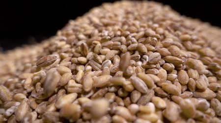 sucking : Pile of wholegrain of pearl barley or wheat that falls from above on black background. Agriculture closeup macro food raw seed. Stock Footage