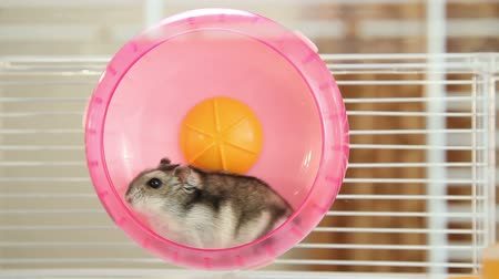 fare : Hamster in a wheel Stok Video