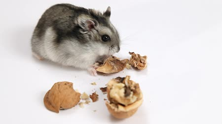 fare : Hamster eating walnut