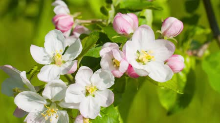 цветение : Apple tree spring blossom Стоковые видеозаписи