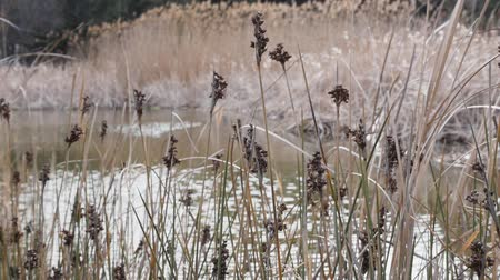 catástrofe : Wetlands cane Bulsrush in wind day Stock Footage