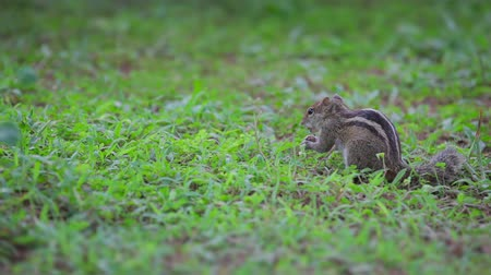 palm squirrel : Video 1920x1080 - Chipmunk eats on the grass Stock Footage