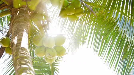 Video 1920x1080p - Coconuts on the top of the palm tree with the rays of the tropical sun Стоковые видеозаписи