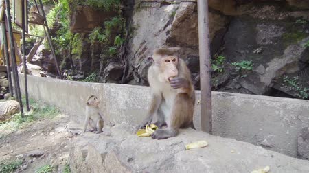 macaca fascicularis : Video 1920x1080 - Monkey (macaque crabeater) feeding near people. Sri Lanka Stock Footage