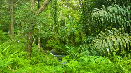 jungle : Video 1920x1080 - Rainforest of thailand. A small stream gurgles Stock Footage