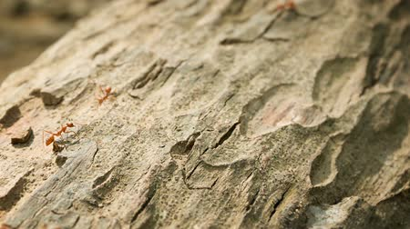 formicidae : Video 1920x1080 - Tropical red weaver ants on the bark close up. Oecophylla Stock Footage