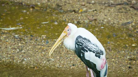 ciconiidae : Video 1920x1080 - Yellow-billed stork (Mycteria ibis) Stock Footage