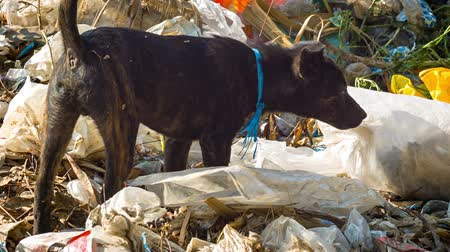 perdido : Video 1920x1080 - Stray dog ??looking for food in the dump Vídeos