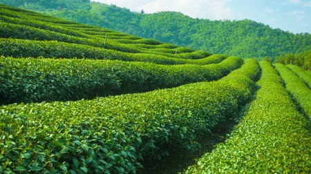 zöld : Video 1920x1080 - Growing tea close up. Highlands of Thailand