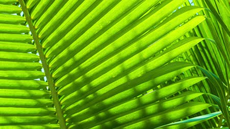 floresta tropical : Video 1920x1080 - palm leaves close-up. Tropical abstract background Stock Footage