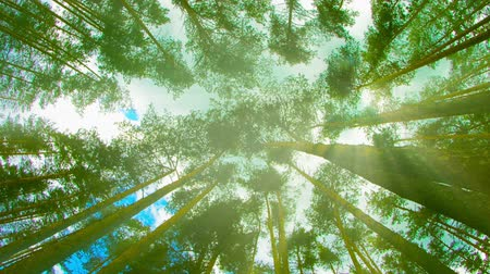 uzun boylu : Video 1080p - Tops of tall pine trees in the forest. Looking up to the canopy