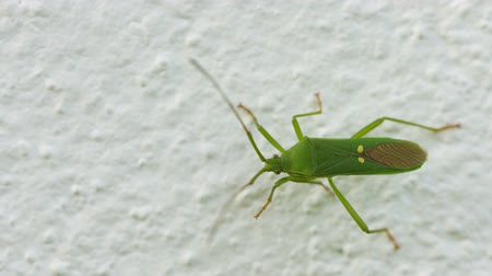fetid : UltraHD video - Green shield bug on the wall close-up. Insects of Thailand