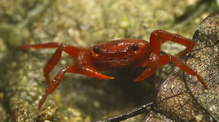 crab of the woods : Video 1920x1080 - Red land crab (Phricotelphusa limula or waterfall crab) close up. Thailand