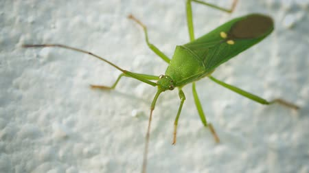 percevejo : Video 1920x1080 - Green shield bug on a light background. Thailand