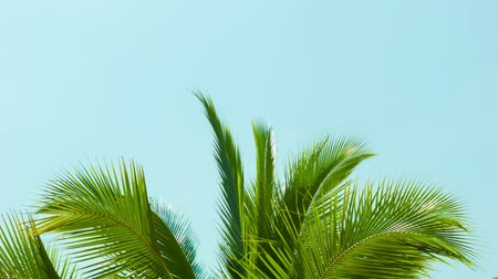 coconut palm tree : Video 1080p - Crest of palm tree quiver in the wind against the sky